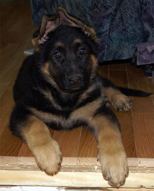 Big Le Terrible - Chiot berger allemand de Lady & Capone